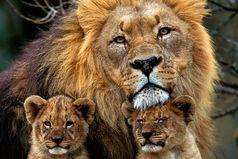 Я Лев по гороскопу, хочу выйти замуж за мужчину под знаком Льва,  родить сына по гороскопу тоже Льва, и назвать его Лев  - у меня будет свой маленький прайд.