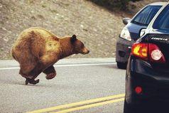 Неправда, что у нас, в России, по дороге ходят медведи. Нет у нас никаких дорог.