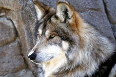 Волк остается волком, даже если ослабли его когти, шакал остается шакалом, даже если он вырос среди волков