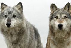 Моя религия - природа, богиня - полная Луна, я представитель злого рода, жестокость волка мне дана.