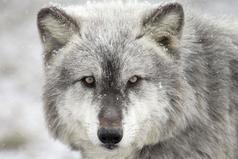 Главное не образ льва, а дух волка.