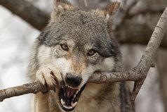 Волк слабее льва или тигра, но зато в цирке не выступает.