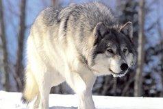 Хочется быть вольным волком среди горного леса