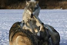 Времена проходят, пацаны определяюся, волки стареют, шакалы наглеют.