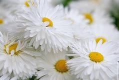 Иногда тёплый букет простых полевых ромашек говорит о чувствах человека больше, чем огромная охапка холодных, дорогих роз.