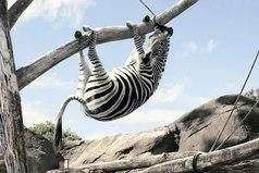 Жизнь - как зебра? Будь хитрее! Дошел до белой полосы - и вдоль, вдоль!