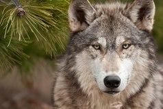 Рождённый волком - собакой не будет. Друзей не предаст и врагов не забудет...