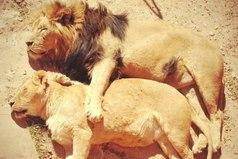 Лев - царь зверей... Пока не проснулась львица.