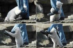 Жестокое нападение белого медведя на человека.