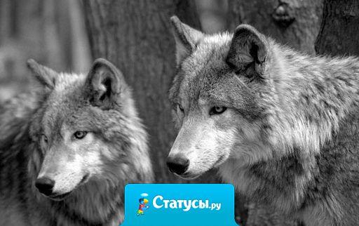 Волк всегда отличался от пса. Волк не прячется за спинами, не нападает на слабых, не предает, не гоняется за стадом. Он просто верен. Верен Братьям, верен Единственной и всегда помнит о Родных. Теперь сделайте вывод, сколько вокруг вас волков?