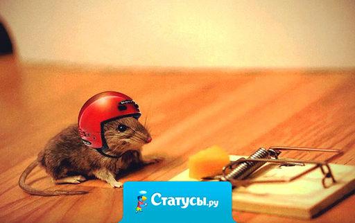 Мышь лениво залезает в мышеловку,  привычным движением оттягивает пружину и обнаруживает вместо итальянского сыра — российский.