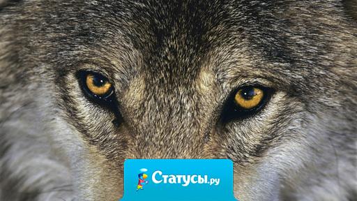 Гнев волка не удержим, любовь неповторима, верность бесконечна.