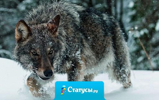 Лучше сдохнуть одиноким волком, чем быть козлом в стаде баранов.
