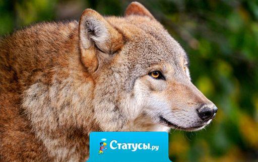 Волки - это люди выбравшие свободу. Жизнь волка не легка , а жизнь человека запутана.