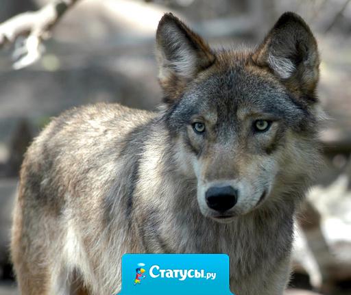 Бараны, у которых главный – волк , всегда сильнее волков , у которых главный — баран.