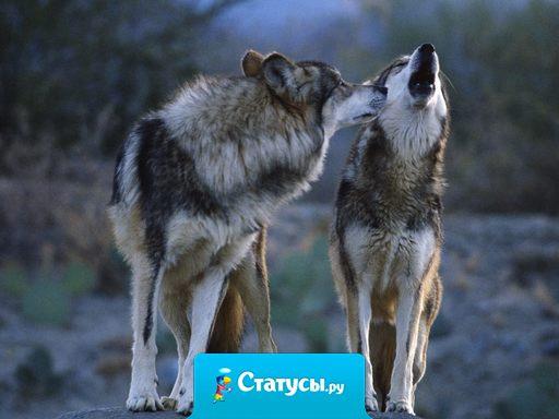 Настоящий волк идет по жизни или со своей спутницей, или один.