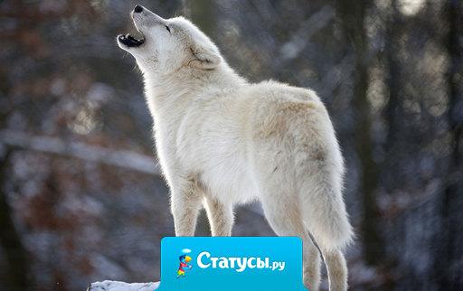Вы никогда не поймёте Волков-одиночек. Одиноки они не из-за того, что нету волчицы достойной, а из-за того, что ищут новую стаю.