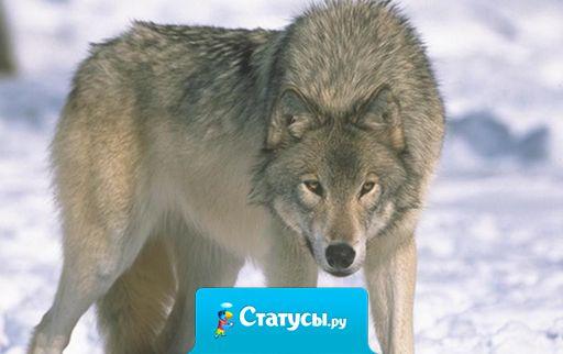 Волка ноги кормят, правда, не всегда свои.