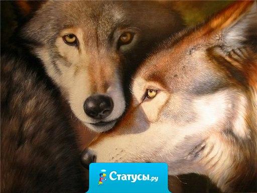 Волк - какое же это прекрасное животное! У волка грустный взгляд и это знак того что он в этой жизни что-то понимает!