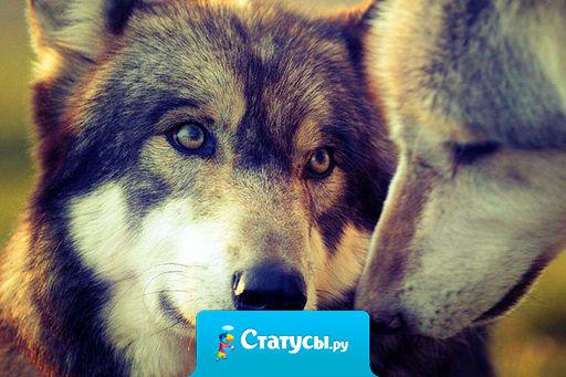 Влюбленный волк уже не хищник, влюбленный волк уже пушистик.