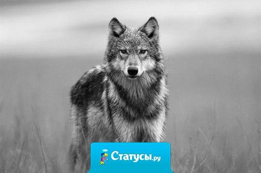 Кто знает в этой жизни толк, не будет лезть в чужую душу. Среди собак я буду волк, а волки псов обычно душат...
