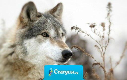Мужчины, конечно, все кобели, но кто-то из них как пёс - с разными с*чками, а кто-то как волк - либо один, либо с одной волчицей навсегда...