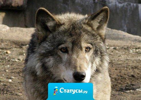Волк - единственный из зверей, который может пойти в бой на более сильного противника. Если же он проиграл бой, то до последнего вздоха смотрит в глаза противника, после чего умирает...