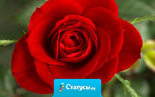 Мама - единственная роза, которая не имеет шипов.