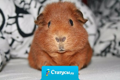 В Швейцарии есть закон, запрещающий иметь одну морскую свинку, так как они скучают без пары.